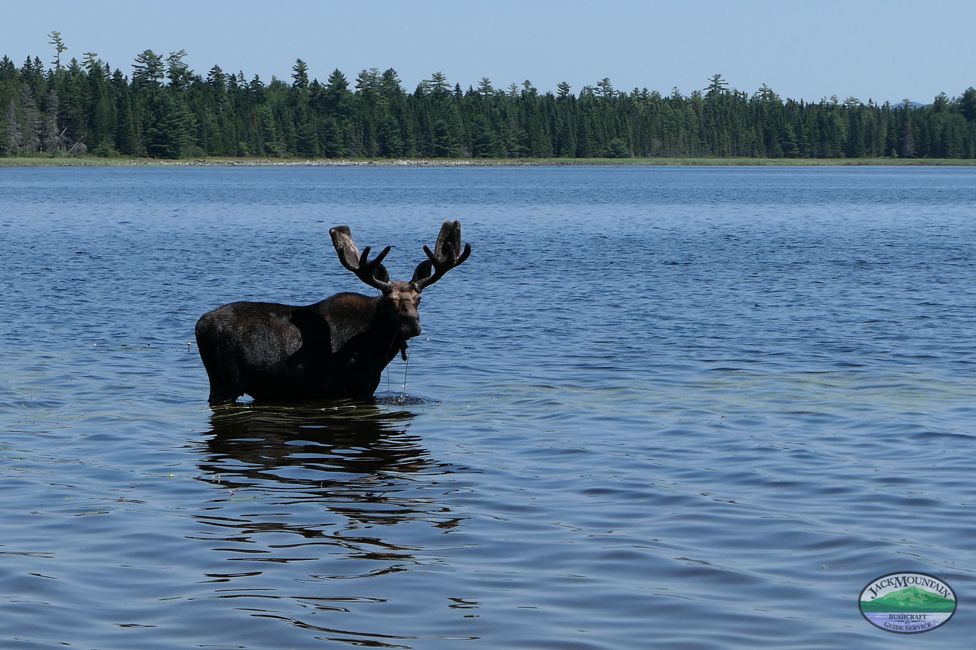 Bull Moose Eagle Lake